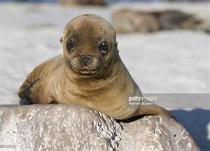 Cute Baby Sea Lion Stock Photo | Getty Images