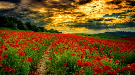 Path Among Flowers Poppies Wallpaper Hd Wallpapers13com
