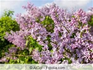 Rosa Blühende Bäume April : bl hende b ume und str ucher f r den garten ~ Michelbontemps.com Haus und Dekorationen