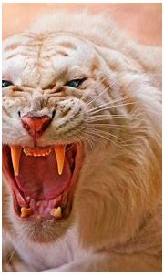 animals, Tiger, White Tigers, Nature, Open Mouth, Blue ...
