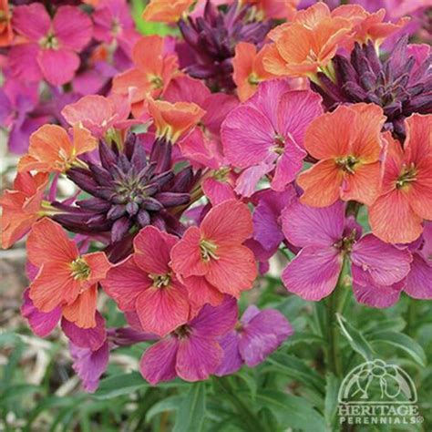monet artist erysimum moment perennials purple wallflower perennial plants mauve flowers sun plant lavender flowering monets colorful orange shrubby boxes