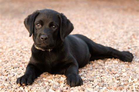 buying  labrador puppy price