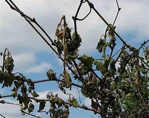 Magnolie Blätter Erfroren : die opfer der eisheiligen ~ Lizthompson.info Haus und Dekorationen