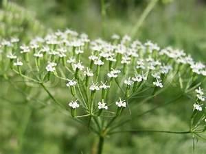 Pflanze Mit Z : pflanze mit wei en bl ten auf der wiese stockfoto ~ Lizthompson.info Haus und Dekorationen