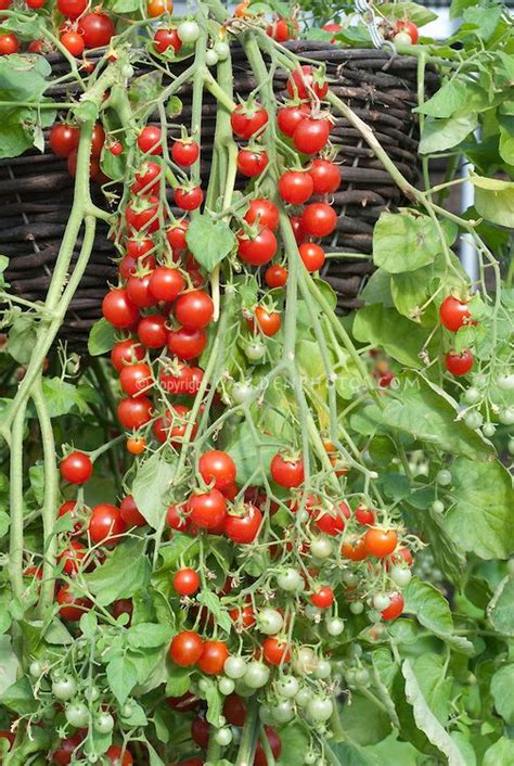 Cherry Tomatoes 'cherry Cascade' Hanging From Pot