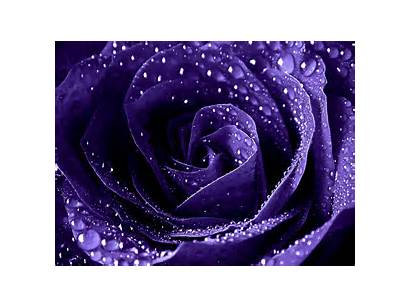 Water Purple Rose Droplets Enchantment