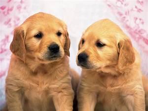 golden retriever puppies wallpapers keywords here