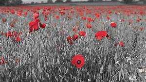 Red Isolated Poppies In A Stock Footage Video  100