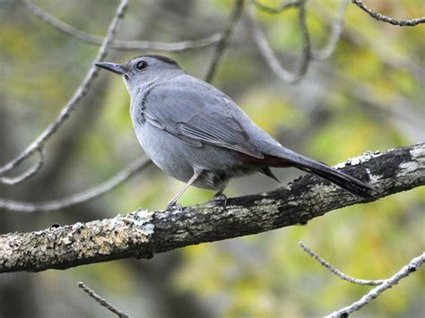 gray catbird flickr photo sharing