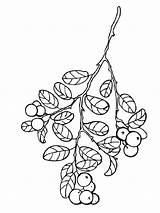 Coloring Pages Cowberry Berries Printable sketch template