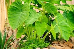 Pflanze Mit Großen Blättern : taro pflanze wissenswertes und praktische tipps ~ Michelbontemps.com Haus und Dekorationen