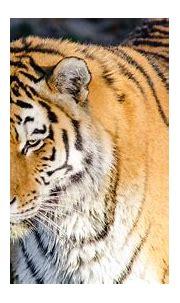 Siberian Tiger 4k Ultra HD Wallpaper   Background Image ...