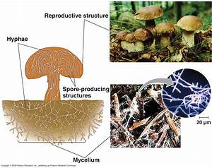 Biology Pictures  Structure Of Fungus