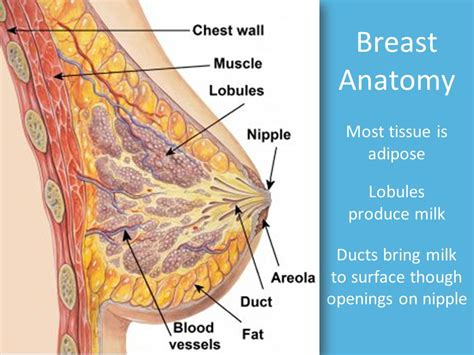 Milk Ducts In Breast Images Breast Health Ppt