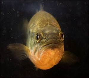 The Fish With Human Face Expressions