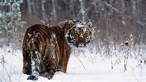 Fierce Tiger in Winter - Nature's Wallpapers