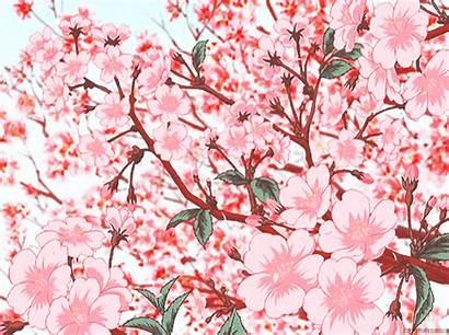 Anime Blossom Cherry Sakura Tree Scenery Blossoms