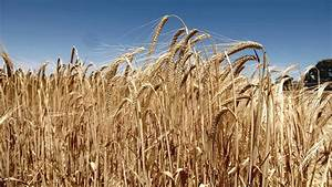 Two New Barley Plant Genes Discovered