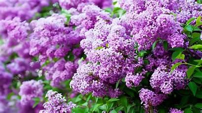 Lilac Purple Wallpapers Blossom Flowers Spring Wallpapersafari