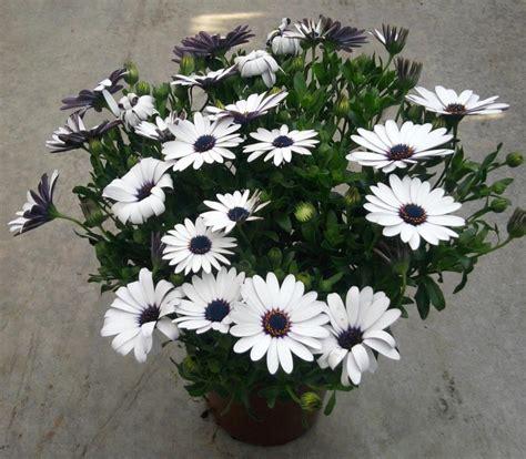 plante fleurie en pot exterieur plante fleurie exterieur