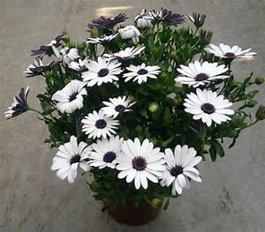 Plante D Extérieur En Pot : plantes fleuries d 39 exterieur ~ Teatrodelosmanantiales.com Idées de Décoration