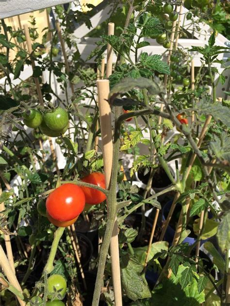 store bought greenhouse grown cherry tomatoes