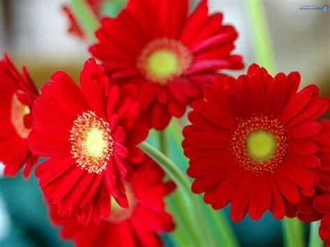 flowers for daisy flowers wallpaper 248267 fanpop page 11