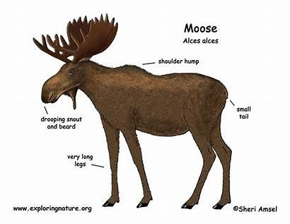 Moose Diagram Deer Exploringnature Elk Animal Draw