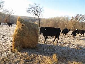 Snow! How Do Cows Stay Warm in Winter? - Clover Meadows Beef