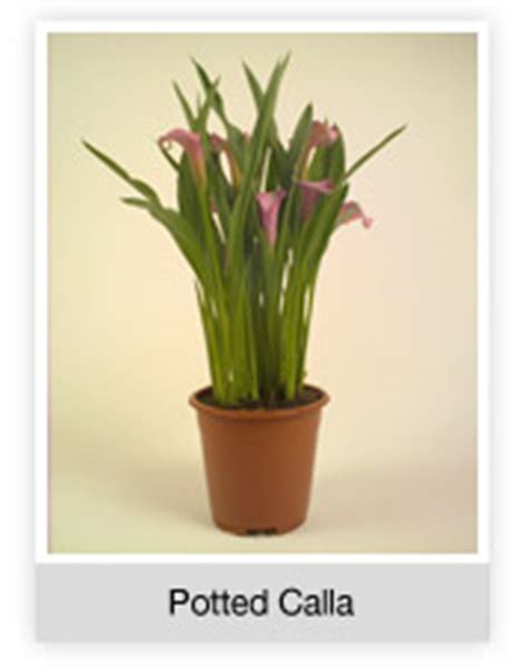 potted calla bell brothers nurseries regency calla