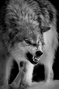 25+ best ideas about Wolf growling on Pinterest | Angry ...