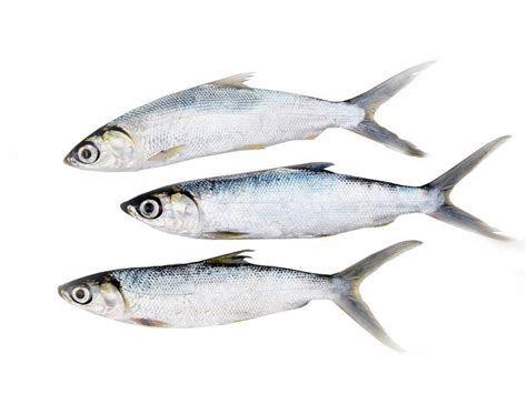 marine milk fish poomeen small buy  freshtohomecom