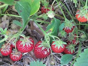 Growing Strawberries: How Do You Care For Strawberries