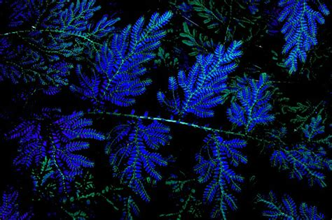 The Iridescent Blue Leaves Of Selaginella Courtesy Of The