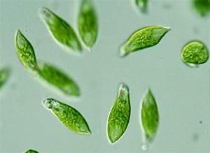 Deskripsi Hewan Protozoa  Amoeba Dan Euglena