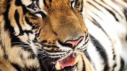 4k Fondos Pantalla Tiger Pc Imagenes Animales