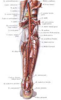 Posterior Tibial Artery Anatomy