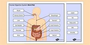 Ks3 Science Digestive System Word Mat