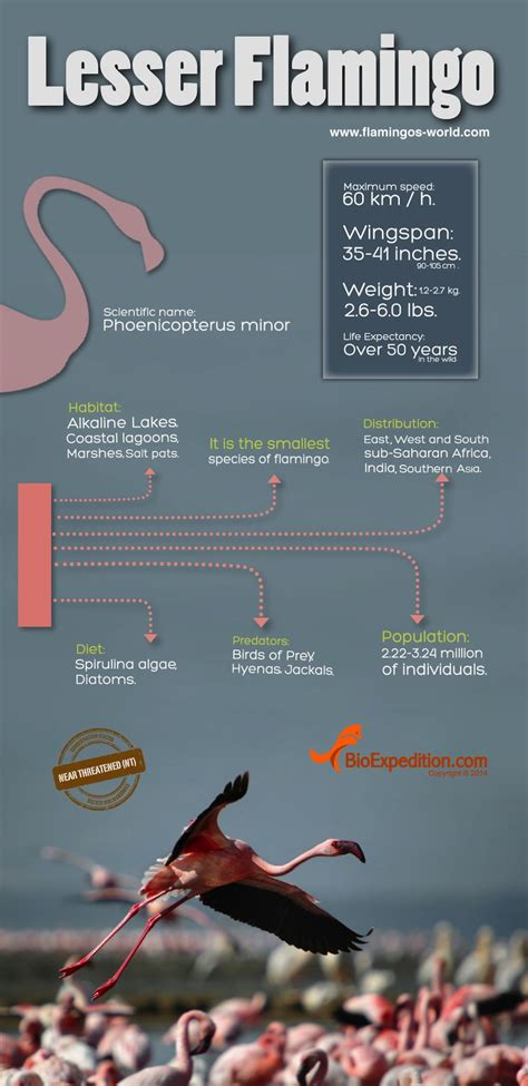 lesser flamingo infographic animal facts  information