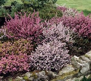 bruyere commune planter et tailler ooreka With modeles de rocailles jardin 8 thym planter et tailler ooreka