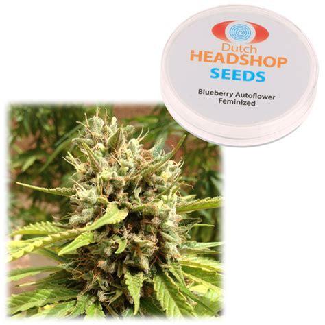 graine de cannabis feminisee interieur blueberry autofloraison f 233 minis 233 e 5 graines marque priv 233 e headshop