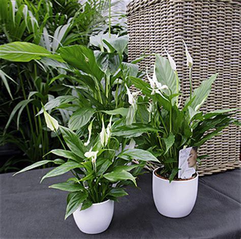 Zimmerpflanze Einblatt Haltung Pflege by Luftverbesserer Co Wohnen Homegate Ch