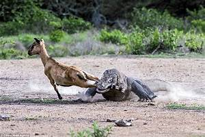 Pair of Komodo dragons catch and kill an unsuspecting goat ...