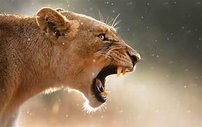Lion Female Roaring Wide