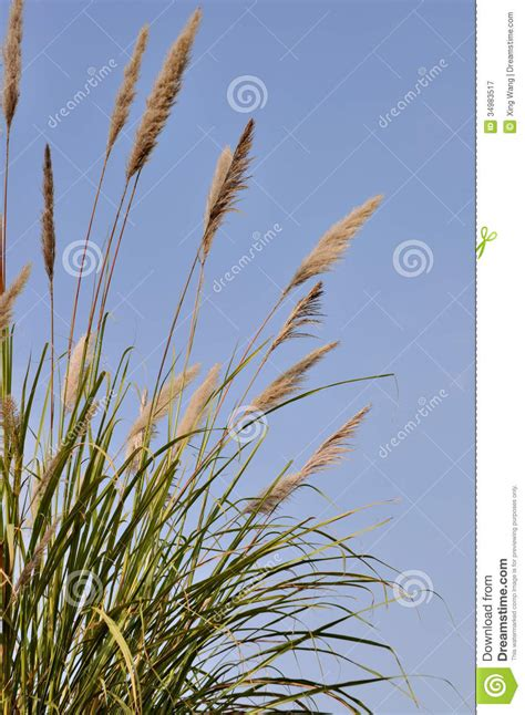 tall grass royalty  stock photography image