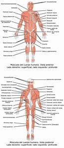 Aparato locomotor - Wikipedia, la enciclopedia libre