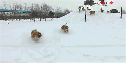 Siberian Drone Tigers Hunt Nude Down Mouse