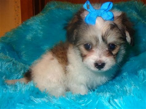 malchi chihuahua maltese mix info temperament puppies