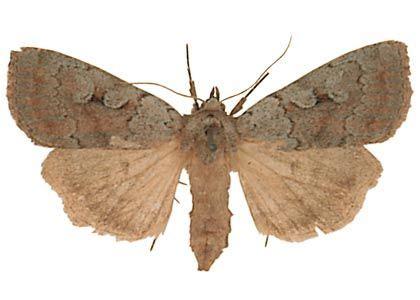 zilganā purvu pūcīte - Coenophila subrosea (Stephens, 1829) - Tauriņi - Latvijas daba