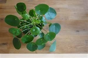 Zimmerpflanze Lange Grüne Blätter : ufopflanze pilea peperomioides pflege anleitung ~ Markanthonyermac.com Haus und Dekorationen